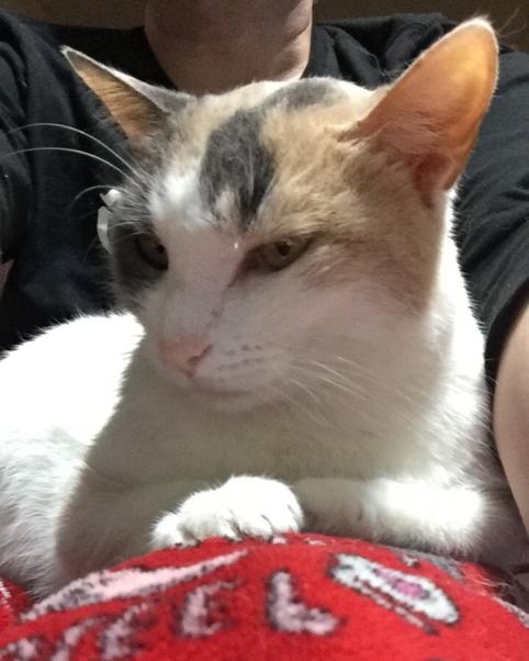 cat, calico cat